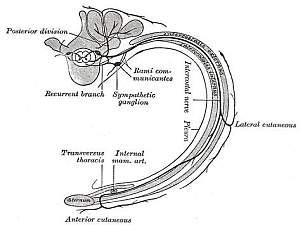 Intercostalneuralgie, Nervus intercostalis, Zwischenrippennerv