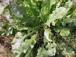Armoracia rusticana, Meerrettich, Heilpflanze