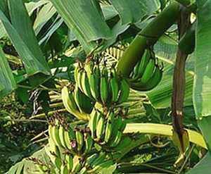 Banane (Musa) – eine der ältesten Kulturpflanzen