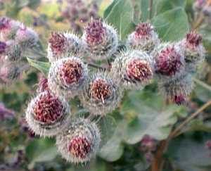Große Klette (Arctium lappa) – eine alte Heilpflanze