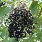 Fruchtstand Schwarzer Holunder, Holunder, Heilpflanze