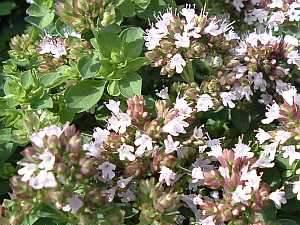 Oregano, Kopfschmerz, Heilpflanze