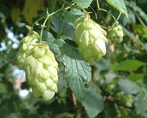 Humulus lupulus, Echter Hopfen, Hopfen, Heilpflanze
