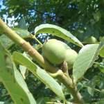 Echte Walnuss Heilpflanze