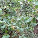 Faulbaum Heilpflanze