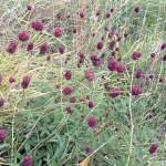 Großer Wiesenknopf Becherblume Blutkraut