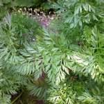 Möhre Gartenmöhre Karotte